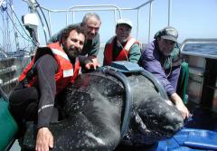 Researchers tagging a giant leatherback sea turtle.