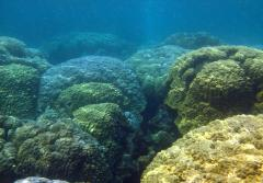 "But closer to the CO2 seeps, the complex reef has been replaced by a ""monoculture"" of boulder corals."