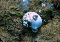 The acidic waters from the CO2 seeps can dissolve shells and also make it harder for shells to grow in the first place.