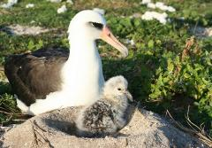 Laysan albatross with a chick in a volcano looking nest on the ground made of earth.