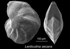 "Lenticulina secans-- this ""benthic"" foram lives on the seafloor. This specimen was collected from southeastern Tanzania."