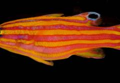 A photo of a candy basslet, an orange and yellow-striped fish.
