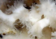 Dr. J. Murray Roberts photographed these living polyps from the Mingulay Reef Complex off Scotland in aquaria in 2010.