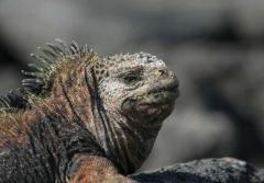 A marine iguana looks off in the distance.