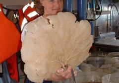 Scientist Martha Nizinski holds a specimen of a fan sponge (Phakellia sp.) collected at a deep-sea coral study site off the coast of South Carolina.
