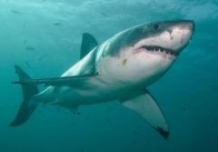 Great White Sharks are powerful swimmers, capable of going 50 kph/35 mph.
