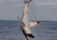 A frame-by-frame view of a Great White Shark breach- frame 4.
