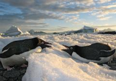 Two Adélie penguins face each other while lying on ice.