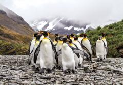 A gang of king penguins.