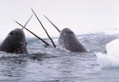Narwhals with their long unicorn-like tusks.