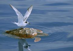 """I slowly approached this bird resting on the back of a turtle just under the surface of the water. I got the shot just before the tern flew away."" -- Nature's Best photographer, Nuno Sá.Equipment Used to Capture the Shot: Canon EOS 20D; 70-200mm lens"