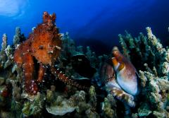 Two octopuses sitting underwater highlight the different textures the animals can take on.
