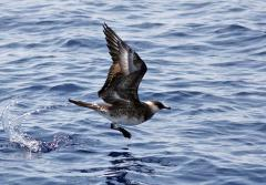 Pomarine Jaegers (Stercorarius pomarinus) are predatory and pirate-like seabirds that will often steal prey from other birds.