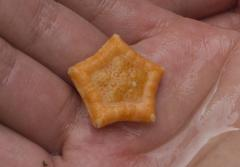 This small sea star, little more than an inch across, is orange on top and whitish underneath.