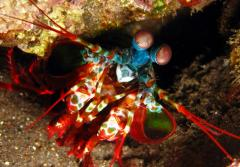 A smasher mantis shrimp came out from its burrow on fringing reef adjacent to US Liberty ship wreck in Tulamben, Bali, Indonesia at a depth of 6 meters.
