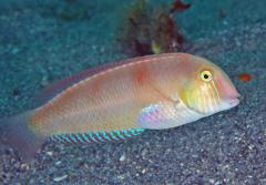 A pearly razorfish
