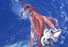 Japanese scientists videotaped this female giant squid, alive, at the water's surface