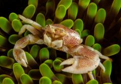 Anemone porcelain crabs can avoid predators by not only living in anemones but by willing loosing appendages to avoid infection.