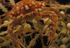 A juvenile swimming crab sits on a bed of sargassum seaweed.
