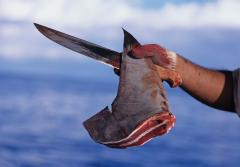 Freshly cut dorsal fin from a scalloped hammerhead shark held by fisherman with knife.