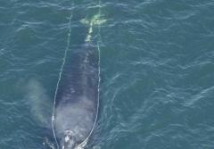 This is North Atlantic right whale #3333 who was spotted with fishing gear trailing from his mouth during an aerial survey off the coast of Georgia on January 29, 2008.