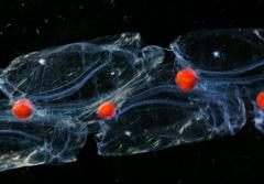 This close-up view of salps, which have aggregated together into a long chain, have brilliant red guts from eating red plankton.