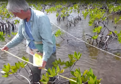 Dr. Candy Feller, Senior Scientist at the Smithsonian Environmental Research Center underscores the challenges facing mangroves, along with reasons for hope.