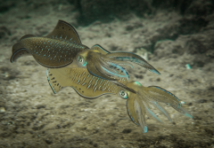 Two squid mating