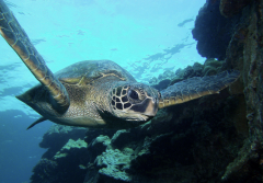 A sea turtle swims with its arms wide.