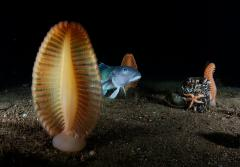 A blue cod and sea pens, a unique type of cnidarian, speckle the seafloor in New Zealand's Fiordland region.