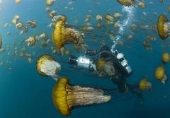 A cameraman navigates a smack of sea nettles (Chrysaora fuscescens) in Monterey Bay. Sea nettle blooms have become more common in recent years.