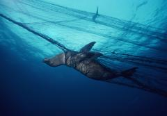 Giant drift nets, placed around the world's oceans to catch commercial fish species, kill non-commercial animals just as efficiently, often taking far more of the latter for every useable species ensnared.