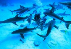 "Madison Stewart, known to many simply as ""shark girl,"" is an inspiring young woman with a passion to protect the creatures most people fear: sharks. She's been diving with sharks since the age of twelve. Here she is feeding a group of Caribbean reef"