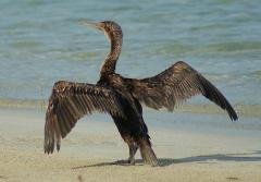 A Socotra cormorant dries its wings on the shore at the Socotra Archipelago in Yemen.