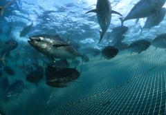 An underwater photo of Southern Bluefin Tuna swimming above a fish farm net.