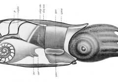 A cross section of a ram's horn squid