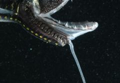 The long barbel on the chin of this dragonfish has a glowing tip that may attract prey.