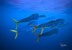 A school of mahi mahi.