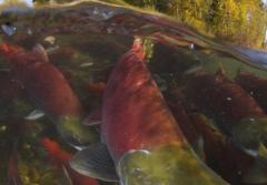 Photo of sockeye salmon spawning.