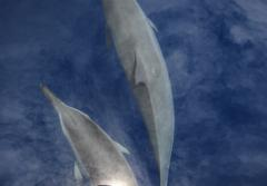 """I took this photograph of spinner dolphins in calm waters off the Ogasawara Islands, an archipelago in the Pacific Ocean about 600 miles south of Tokyo. When the sun briefly broke through the clouds, our shadow was mirrored in the water's surface—an"