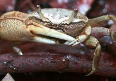 A male mudflat fiddler crab (Uca rapax) waves its huge claw to impress females and threaten competitors.