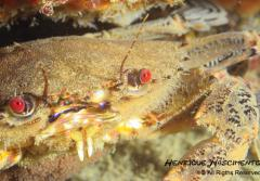 The velvet crab's aggressive nature has earned it the nickname devil's crab.