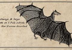 "Three hundred year old pen and ink drawing of a ""strange and large"" bat."
