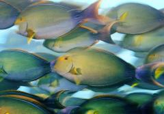 A school of yellowfin surgeonfish feed near dusk off Canton Island in the Phoenix Islands.