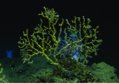 A brown-colored deep-sea coral sits on the deep ocean floor and is covered with brown oil floc.