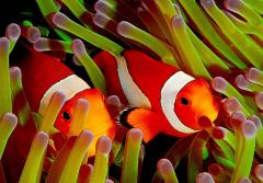 Two bright orange anemonefish poke their heads between anemone tentacles.
