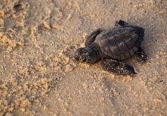 A juvenile Kemp's ridley sea turtle emerges from the nest