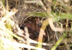 Seaside sparrow chicks beg for food from their nest