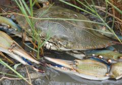 A blue crab on the Mid-Atlantic coast of the U.S.