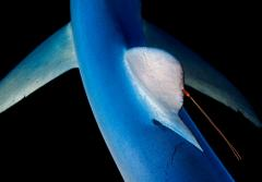 A blue shark, with a copepod attached to its dorsal fin, coasts through waters near New England.